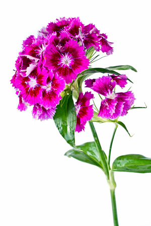 Purple Sweet william flowers isolated on white background photo