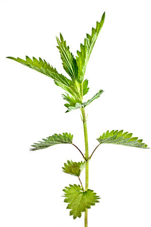 Nettle plant closeup isolated on white background photo