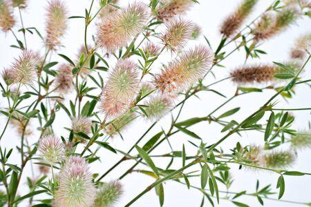 trifolium: Has many names. Official Clover Trifolium arvense. Folk is a charesfoot clover, rabbitfoot clover, stone clover, hares-foot clover, oldfield clovermouse clover Stock Photo