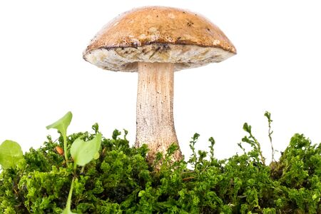 A forest mushroom is a brown cap boletus, it is isolated on a white background photo