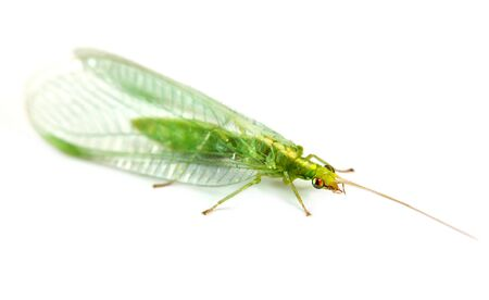 chrysoperla: Transparent green insect Chrysoperla carnea it is isolated on a white background Stock Photo