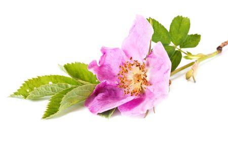wild  rose: Fioritura delle piante selvatiche, una rosa selvatica primo piano Archivio Fotografico