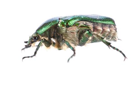 aurata: Shiny beetle Cetonia aurata isolated on white background