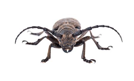 chitin: Species of longhorn beetles beetles. Weaver Beetle Beetle isolated on white background Stock Photo