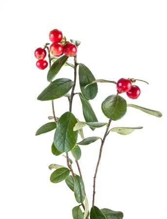 cowberry: Berries of plant cowberry it is isolated on a white background Stock Photo