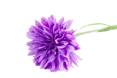 flowering plants: Flowering plants cornflower close-up isolated on white background Stock Photo