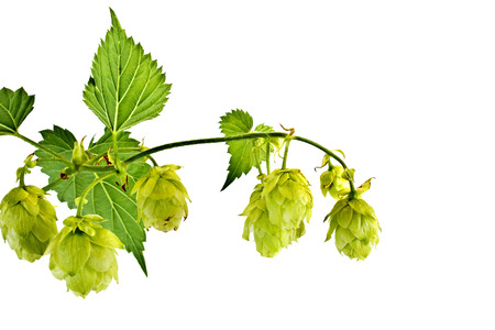 Cones of plant a hop is isolated on a white background