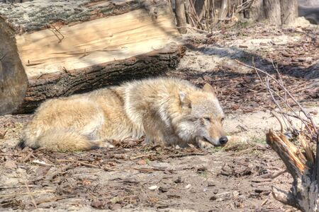 Wolf resting in the open-air cage of the Moscow Zoo Stock Photo