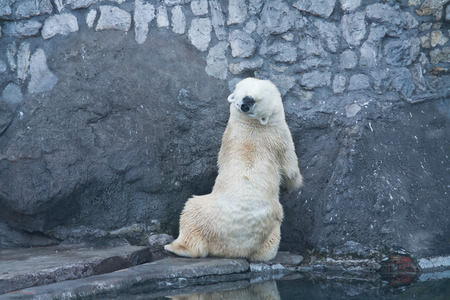 openair: A large polar bear is in the open-air cage of the Moscow zoo