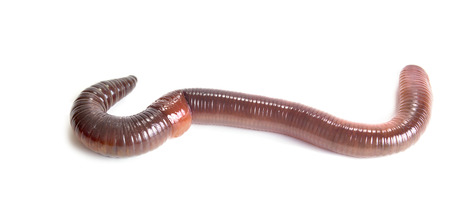 Hermaphrodite: Animal earthworm it is isolated on a white background