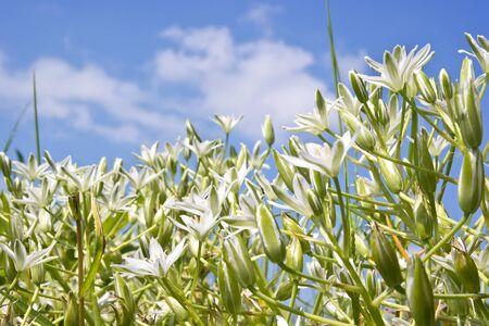 ornithogalum: Garden flower Ornithogalum on a background blue sky