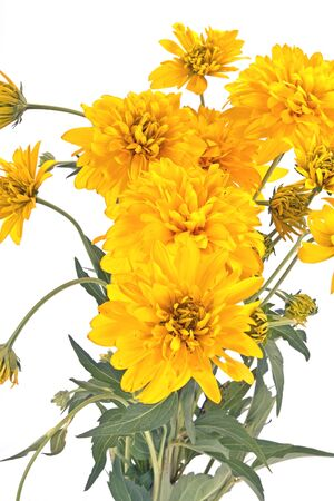 golden ball: Blooming Golden Ball or Rudbeckia isolated white background