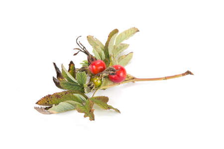 curative: Berries of Rose and leaves are isolated on a white background