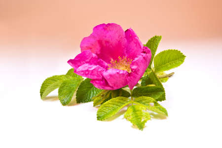 wild rose: Fragrant wild rose flower with green leaves Stock Photo