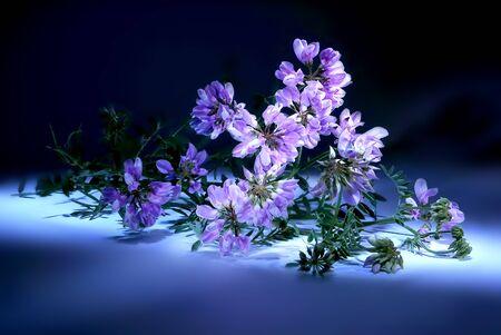 vetch: Vetch wild plants closeup on white background. Light brush Stock Photo
