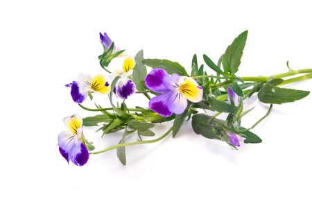 Wild flower Viola tricolor isolated on white background Stock Photo