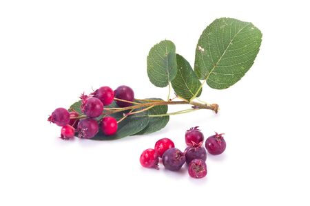 sugarplum: Sprig Amelanchier with berries isolated on white background
