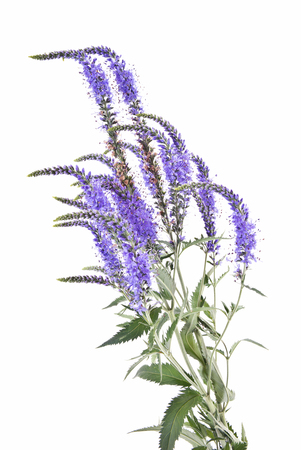 veronica flower: Garden flower Veronica longifolia by close-up on a white background