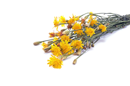 sow: Wild plants field sow thistle isolated on a white background