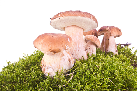 hummock: Mushroom of Cep on a green hummock is isolated on a white background