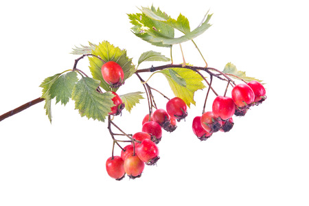 Branch of berries of Hawthorn is isolated on a white background Stock Photo