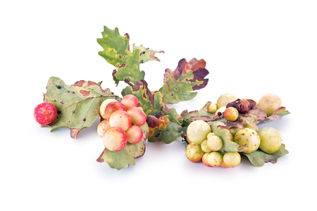 gall: Large round balls, Gauls parasitic insect gall wasp Stock Photo