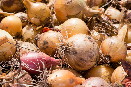healthful: Mature bulbs are dried in the sun
