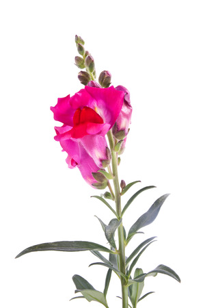 snapdragon: Snapdragon flower isolated on white background