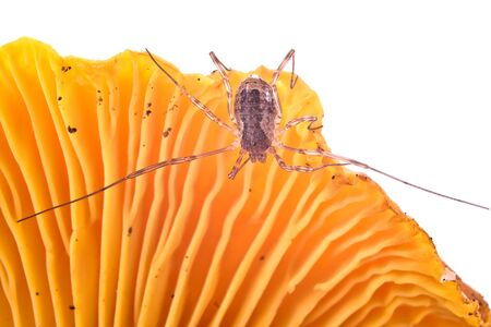 harvestman: Spider Harvestmen on a mushroom Chanterelle it is isolated on a white background