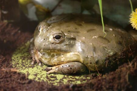 aquifer: Cyclorana is a genus of frogs in the family Hylidae (tree frogs)