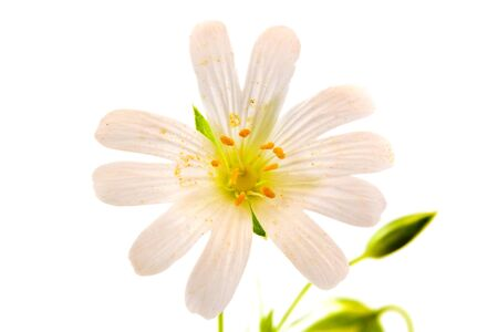 curative: Anemone field plant closeup isolated on white background