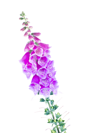 Flowering plant Digitalis isolated on white background 版權商用圖片