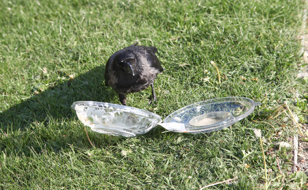 A savvy crow opens a plastic container with leftover food