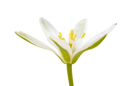Spring flowering plant Ornithogalum umbellatum or Bethlehem Star isolated on white background