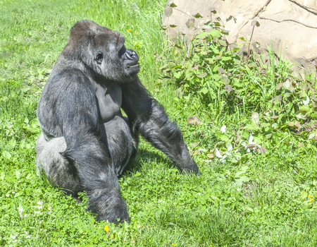 Gorillas are ground-dwelling, predominantly herbivorous apes that inhabit the forests of central Sub-Saharan Africa 免版税图像 - 122131352