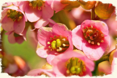 Picture from a photo, imitation of painting. Primrose Badan (Bergenia) or elephant-eared saxifrage, elephant's ears in early spring close-up