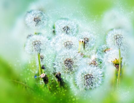 Overblown flowers of plant dandelion on the field. Bokeh, blur