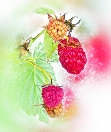 Branches of bush raspberry with ripe berries. Background bokeh and color blur Imagens - 130999422