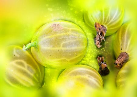 Ripe berries of green gooseberry. Background bokeh and color blur Imagens - 130999208