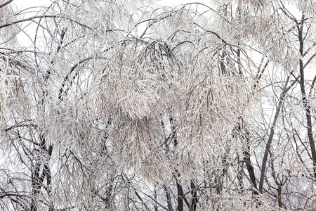 Freezing rain (Ice pellets). The branches of plants covered with a thick layer of ice