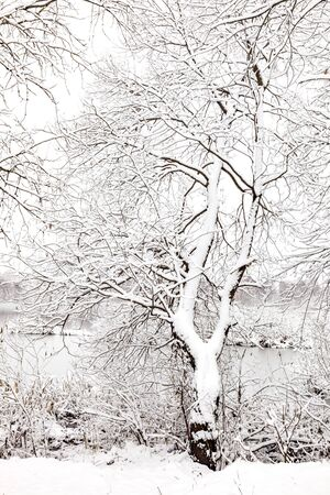 Winter landscape. A tree covered with snow on the shore lake