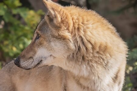 Wild animal wolf in the natural environment Stock Photo
