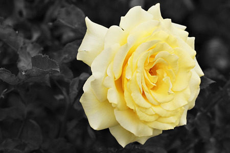 marvellous: Lemon Yellow Rose with Black and White Background
