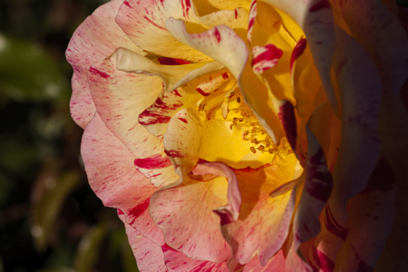 tremendous: Close-up Photo of the Centre of a Pink and Yellow Rose