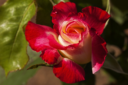 terrific: Stunning Close-up of the End of a Red and White Rose