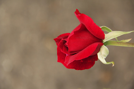 tremendous: Red Rose with a Neutral Background