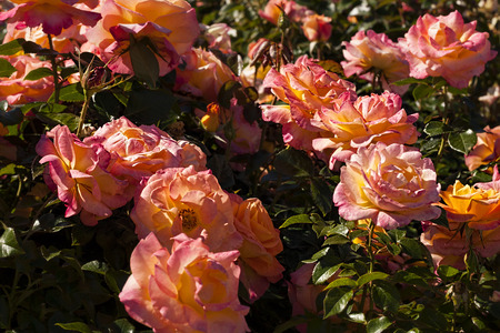 marvellous: Pink and Yellow Roses in Bushes Stock Photo