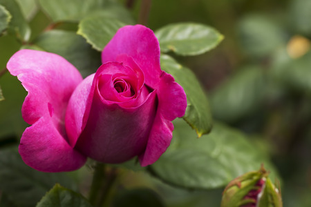 tremendous: Pink Rose and Bud with Green Leaves Behind