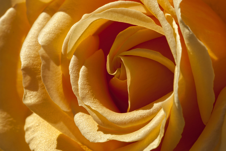 tremendous: Close up of a Yellow Rose filling the Image