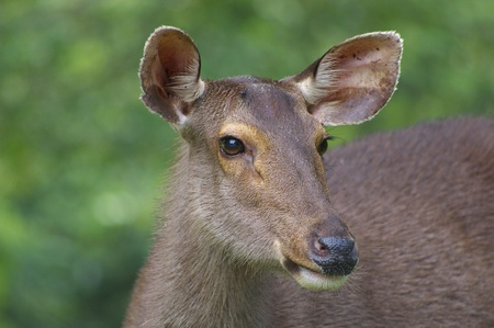 Wild deer in Khaoyai National Park, Thailand